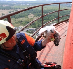 Pár sokolů vyseděl mláďata na komíně chemičky u Litvínova